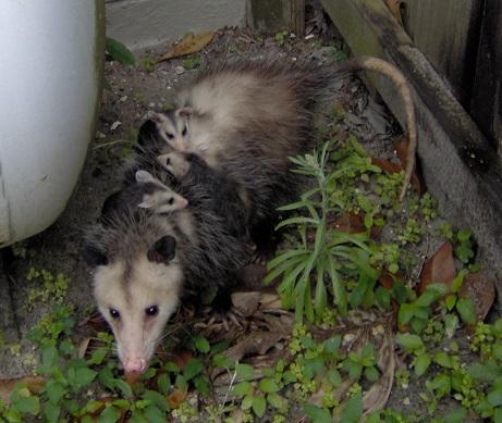 Photo Courtesy Of Berta Alex Gilholm St Petersburg Fl Used By Permission Do Opossums